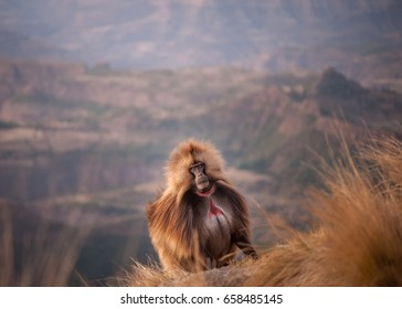 Gelada baboon prior to retreating over the edge of the cliff for the night, Simien Mountain range, Ethiopia