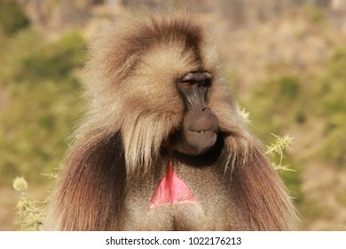 Gelada Baboon in Simien Mountains National Park, Ethiopia.