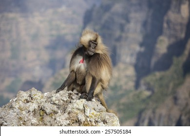 Gelada monkey sitting on rock in the Simien Mountains