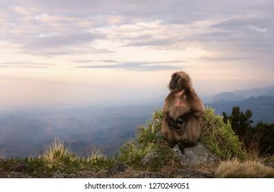 Gelada monkey (Theropithecus gelada) sitting on an edge of a cliff at sunset, Simien mountains, Ethiopia.