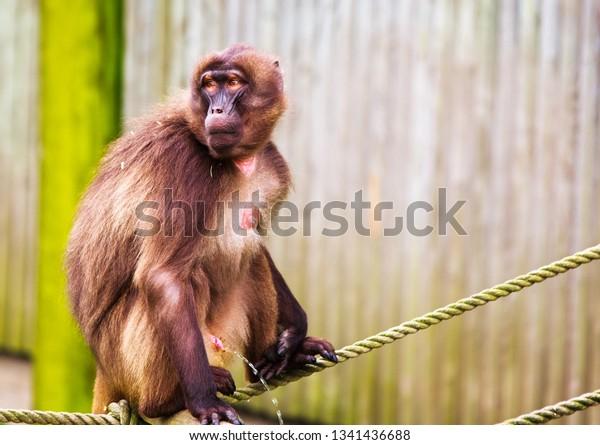Gelada Monkey (Theropithecus gelada) sitting on a rope urinating.