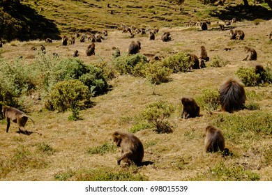 Gelada Monkeys in Ethiopian Highlands