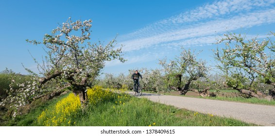 geldermalsen, netherlands, 19-04-2019: man rides bicycle near apple blossom and rapeseed on dike in betuwe area near geldermalsen in the netherlands
