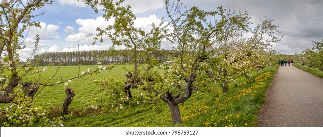Geldermalsen, the Netherlands - April 27, 2017 - The Appeldijk, a famous narrow road lined with flowering apple trees, on a dike in the Betuwe in early spring, on a partly cloudy day, with hikers.