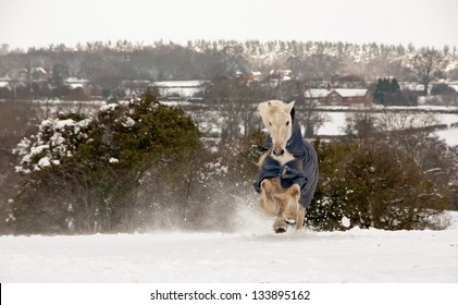 Gelding charging across the snow covered field