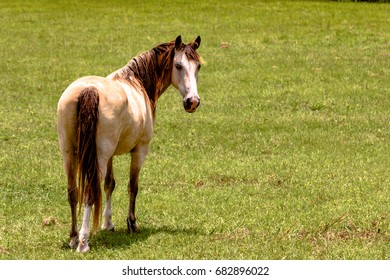 Gelding horse looking back over his shoulder with green grass background and blank area to the right
