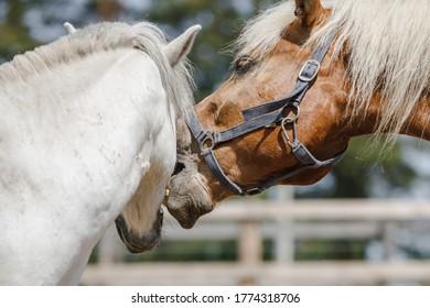 gelding pony biting gelding horse in herd in paddock