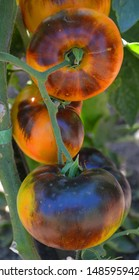 """""""Lucid Gem tomato"""" is a recent creation of Brad Gates', which he states is a sister line to Blue Beauty. It has a yellow epidermis, with a red/yellow bicolor interior"""