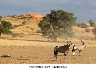 Gembok in a kalahari landscape
