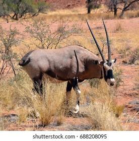 Gemsbock or gemsbuck (Oryx gazella) Namib-Naukluft National Park is a national park of Namibia  part of the Namib Desert considered the world's oldest desert and the Naukluft mountain range