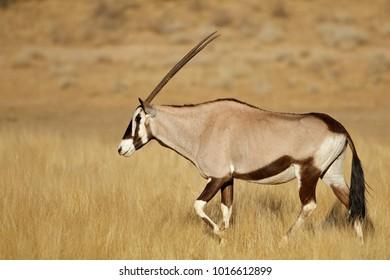 Gemsbok antelope (Oryx gazella) walking in grassland, Kalahari desert, South Africa