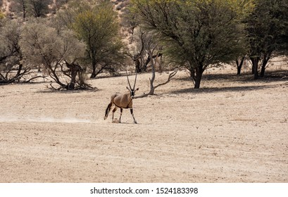 A Gemsbok antelope running in a dry riverbed in Southern African savannah
