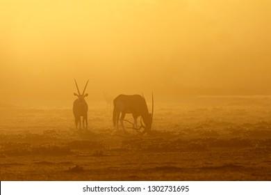 Gemsbok antelopes (Oryx gazella) in dust at sunrise, Kalahari desert, South Africa