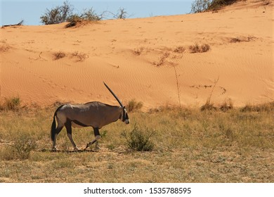 The gemsbok or gemsbuck (Oryx gazella) walking on the sand in Kalahari desert. Tracks in background.