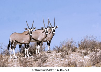 Gemsbok in Kgalagadi Transfrontier Park in South Africa