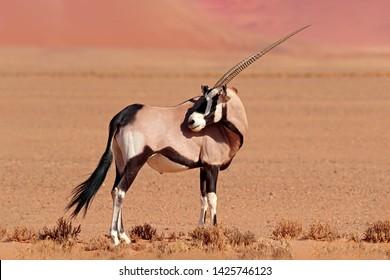 Gemsbok with orange pink sand dune evening sunset. Gemsbuck, Oryx gazella, large antelope in nature habitat, Sossusvlei, Namibia. Wild animals in the savannah. Animal with big straight antler horn.