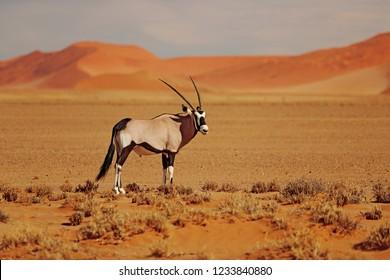 Gemsbok with oraqnge sand dune evening sunset. Gemsbuck, Oryx gazella, large antelope in nature habitat, Sossusvlei, Namibia. Wild animals in the savannah. Animal with big straight antler horn.