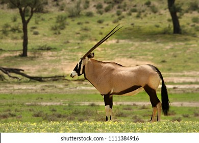 Gemsbok (Oryx gazela) staying in the green grass on the Kalahari desert. Trees in the background.