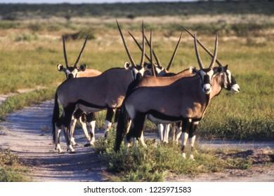 Gemsbok (Oryx gazella), Central Kalahari Game Reserve, Ghanzi, Botswana, Africa