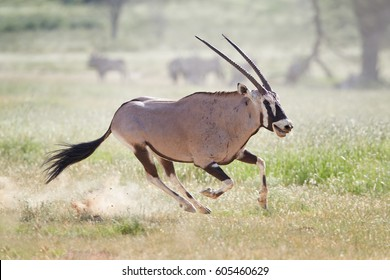 Gemsbok, Oryx gazella, dominant male chasing oponent after fight for dominance with bloody traces on its body. Kgalagadi reserve, Kalahari, South Africa.
