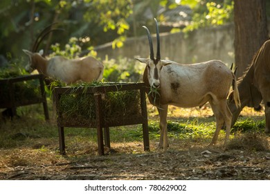 Gemsbok Oryx gazella graze in Chiang Mai