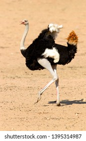 Gemsbok (Oryx gazella),  Kgalagadi Transfrontier Park, Kalahari desert, South Africa.
