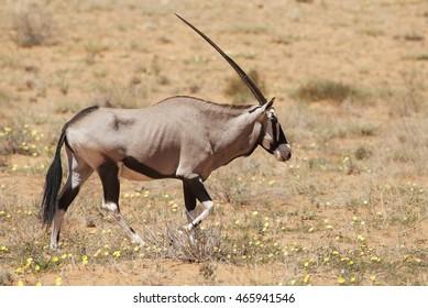Gemsbok, Oryx gazella, Kgalagadi Transfrontier Park, Kalahari desert, South Africa