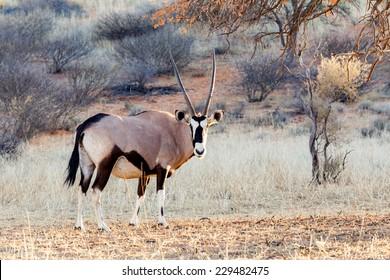 Gemsbok, Oryx gazella on sand dune, Kgalagadi Transfrontier Park, Botswana, true wildlife