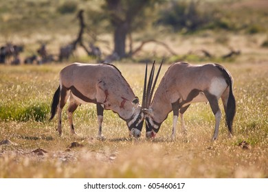 Gemsbok, Oryx gazella, two  males fighting for dominance. Heavy fight with bloody traces on body. Kgalagadi reserve, Kalahari, South Africa.