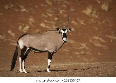 Gemsbok oryx in the red dunes of Sossusvlei, Namibia