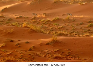 Gemsbok run with orange sand dune evening sunset. Gemsbuck, Oryx gazella, large antelope in nature habitat, Sossusvlei, Namibia. Wild animals in the savannah. Animal with big straight antler horn.