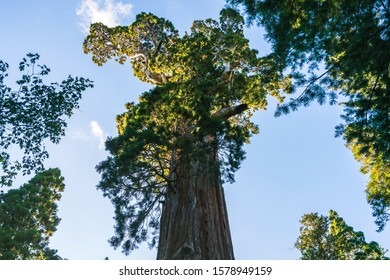 General grant tree,giant trees in sequoia national park,ca,usa.