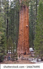 General old Sherman Tree