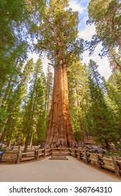 General Sherman Tree huge trunks in Sequoia National Park, California USA
