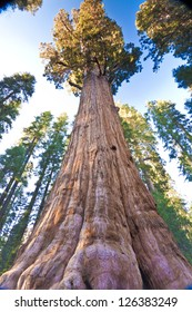 General Sherman, The Worlds Largest Tree, found in Sequoia National Park