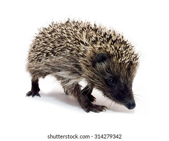 General view of the coming hedgehog isolated on white background