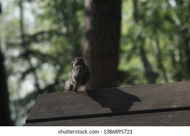 Generally, sparrows are small, plump, brown and grey birds with short tails and stubby, powerful beaks. Sparrows are a family of small passerine birds. They are also known as true sparrows, or Old Wor