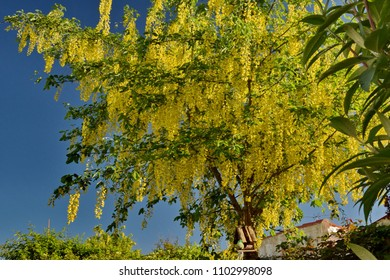 Generous, brightful laburnum (cytise, cytisus) in a blue sky background with a bird house hanging on a branch.