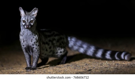 Genet photographed at night using a spotlight sitting and waiting for food