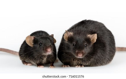 Genetic obese mouse with black healthy control