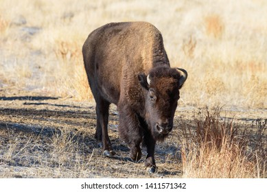 Genetically Pure Wild Bison in Colorado
