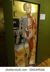 GENEVA, SWITZERLAND - FEB 24, 2018 - Human anatomy display at the History of Science Museum in Geneva, Switzerland
