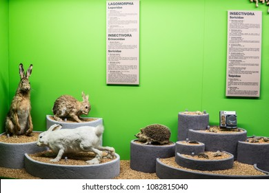 Geneva, Switzerland, March 12, 2018 Natural History Museum, Museum d'Histoire naturelle, exhibit, regional fauna, local stuffed and preserved animals as alive, rabbits, hedgehogs, Lagomorpha,