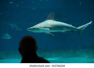 GENOA, ITALY - MARCH 22, 2016: Visitor observes as sandbar sharks (Carcharhinus plumbeus) swim in the Genoa Aquarium in Genoa, Liguria, Italy.