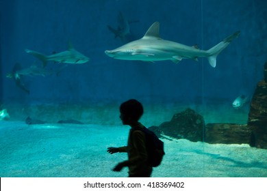 GENOA, ITALY - MARCH 22, 2016: Young visitor observes as sandbar sharks (Carcharhinus plumbeus) swim in the Genoa Aquarium in Genoa, Liguria, Italy.