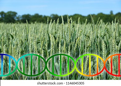 genome editing or genetic engineering concept, dna double helix over wheat crop field