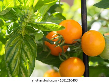 Genova basil and sungold tomatoes Companion planting  helps confuse insects seeking tomatoes to eat .
