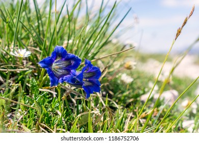 Gentiana acaulis, the stemless gentian, is a species of flowering plant in the family Gentianaceae, native to central and southern Europe, from Spain east to the Balkans, growing especially in mountan