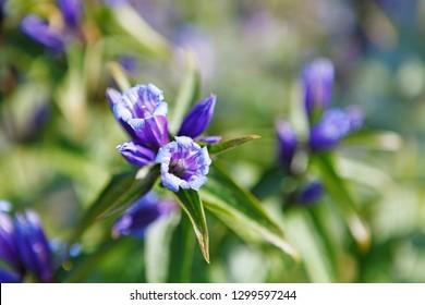 Gentiana verna flower near Czarny Staw Gasienicowy lake