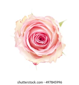 gentle cream rose with pink petal edges isolated on white background
